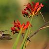 A female Allen's Hummingbird in flight near Crocosmia flowers