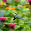 Hummingbird Scratching<br /> Copyright 2007, Tom Farmer