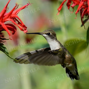 #1071  A ruby throated hummingbird hovers among red beebalm blossoms.