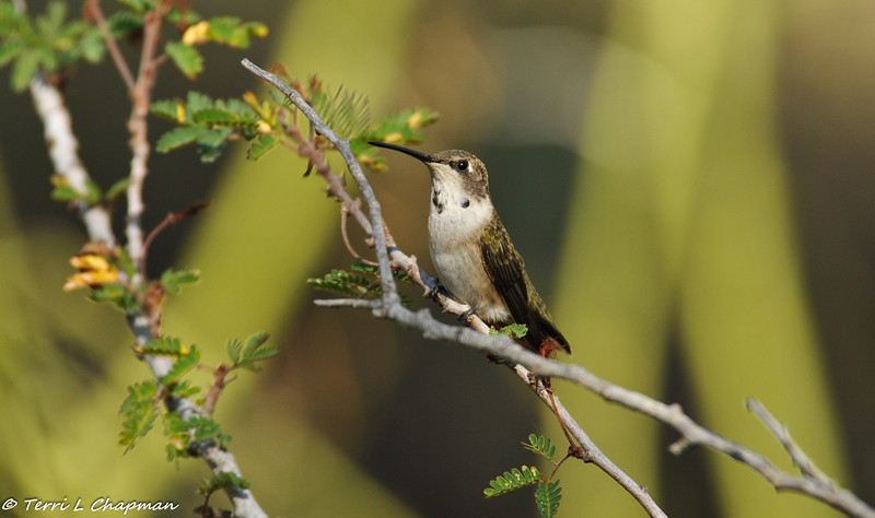 A juvenile male Black-chinned Hummingbird