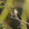 A juvenile male Black-chinned Hummingbird