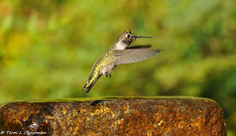 Anna's Hummingbird flying away after the bath is done!