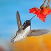 Cost'a Hummingbird