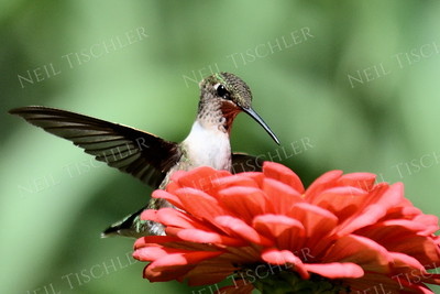 #1029  A ruby throated hummingbird juvenile male perched on a zinnia petal