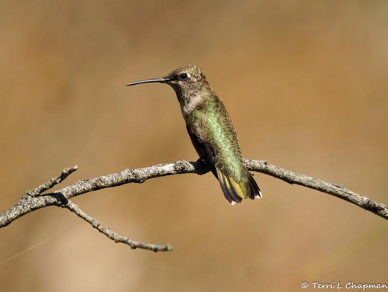 A Black-chinned Hummingbird