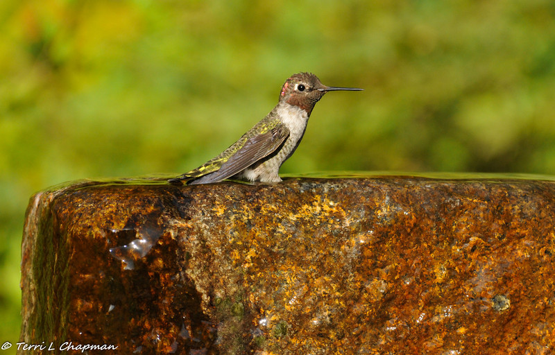 A male Anna's Hummingbird cooling off in a fountain