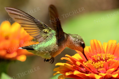 #1077  A male juvenile ruby throated hummingbird feeds at an orange zinnia blossom.