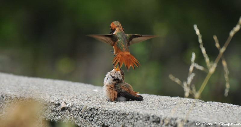 An adult Allen's Hummingbird threatening a baby Allen's Hummingbird that has flown into his territory