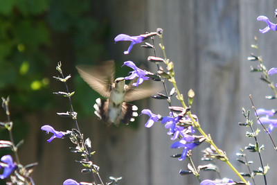 I like the motion of the wings in this photo. Central California 8-29-06