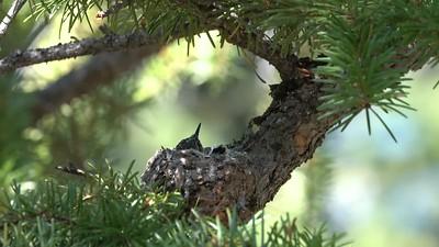 Mother Hummingbird Feeds Baby
