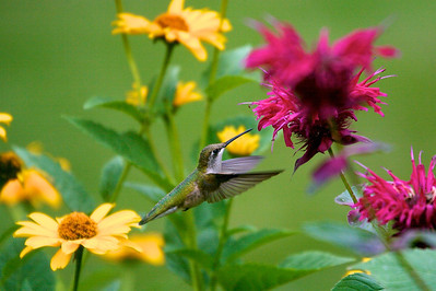 Hummingbird and monarda Copyright 2007, Tom Farmer