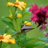 Hummingbird and monarda<br /> Copyright 2007, Tom Farmer