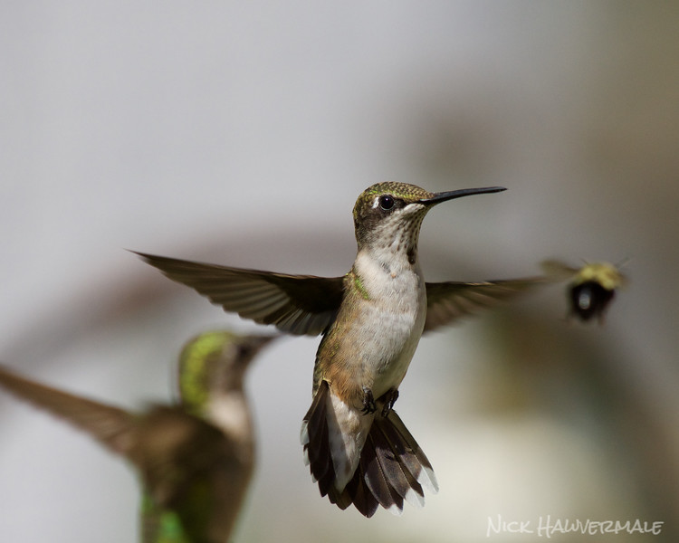 Hummingbirds and Bees