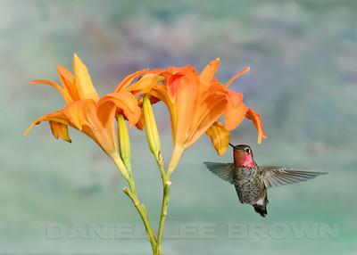 Male Anna's Hummingbird, Sacramento County, CA, 7-4-2013. Cropped image