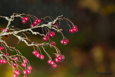 Branch with wild red berries isolated against a natural dark warm color blurred background.