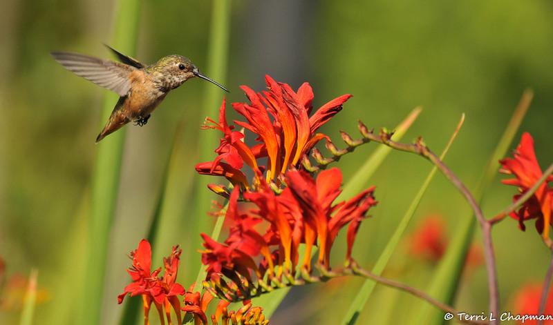 An Allen's Hummingbird hovering over Crocosmia flowers