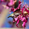 A female Anna's Hummingbird sipping nectar from a Silk Floss Tree bloom.