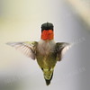 #1169  Ruby Throated Hummingbird, male, hovering