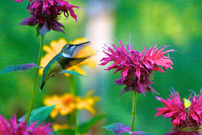 Hummingbird and monarda
