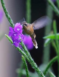 Long-tailed Hermit Hummingbird