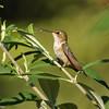 Allen's Hummingbird perched in a butterfly bush