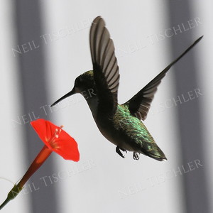 #1193  A ruby throated hummingbird hovers over a Cardinal Flower (a vine).