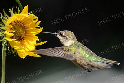 #1082  A male juvenile ruby throated hummingbird approaching a small sunflower blossom.