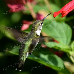 #1130  A male juvenile ruby throated hummingbird feeds at a red salvia blossom.