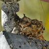 Two baby Costa's Hummingbirds in their nest