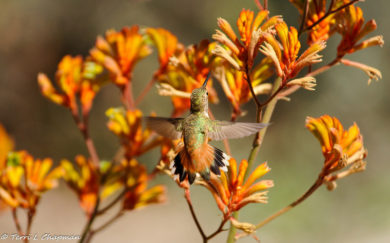 A female Allen's Hummingbird defending her Kangaroo Paw plant from another hummingbird that is in her territory