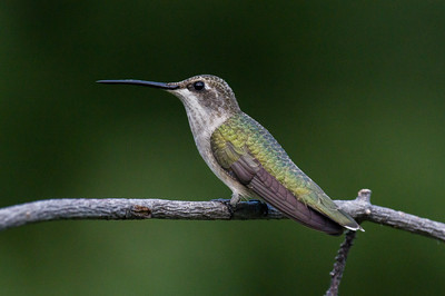 Black-chinned Hummingbird - female (Archilochus alexandri)