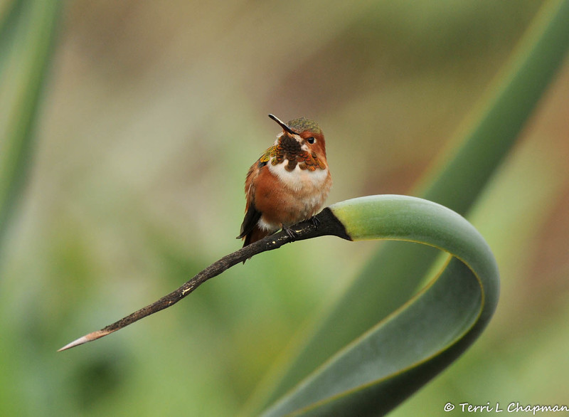A male Allen's Hummingbird perched on the tip of an agave plant