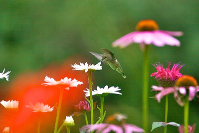 Hummingbird on Shasta Daisy Copyright 2007, Tom Farmer