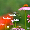 Hummingbird on Shasta Daisy<br /> Copyright 2007, Tom Farmer
