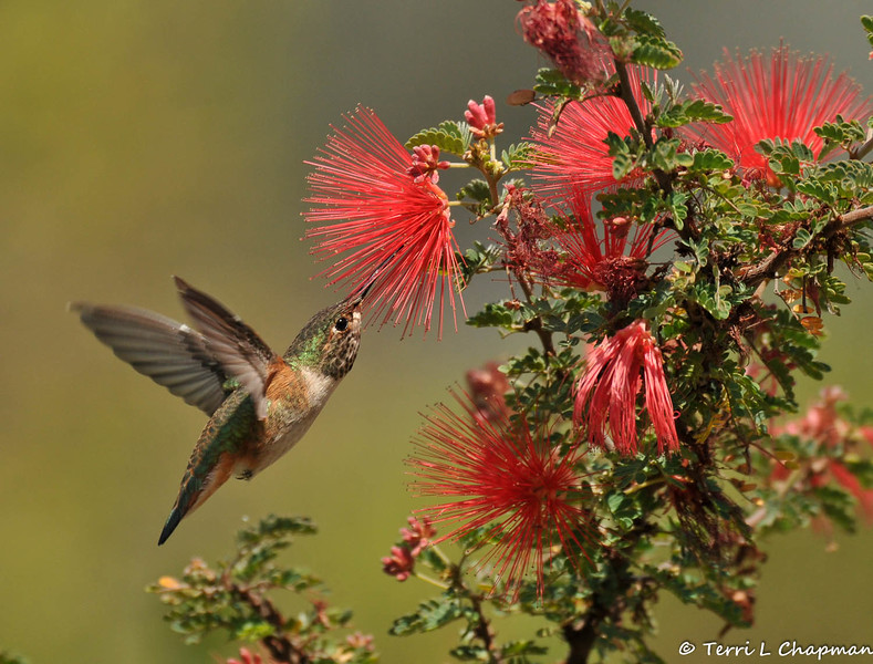 An Allen's Hummingbird sipping nectar from a Baja Fairy Duster bloom