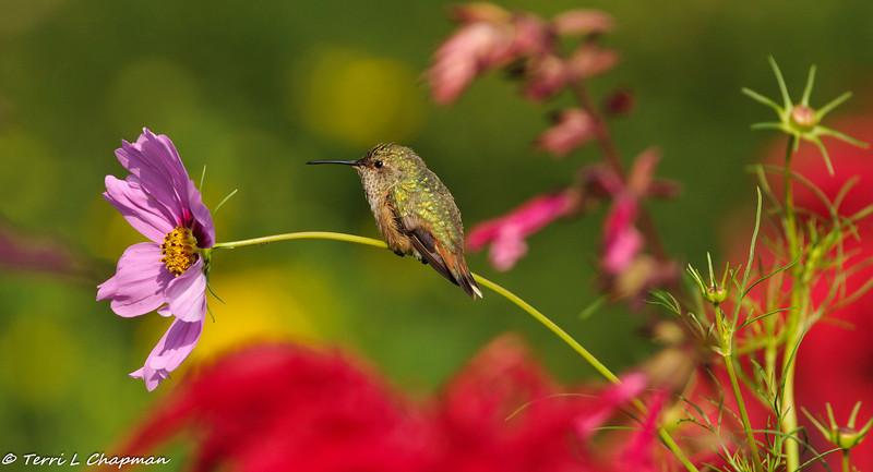 Allen's Hummingbird sitting on a Cosmo flower stem