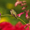 Allen's Hummingbird sitting on a cosmo flower stem