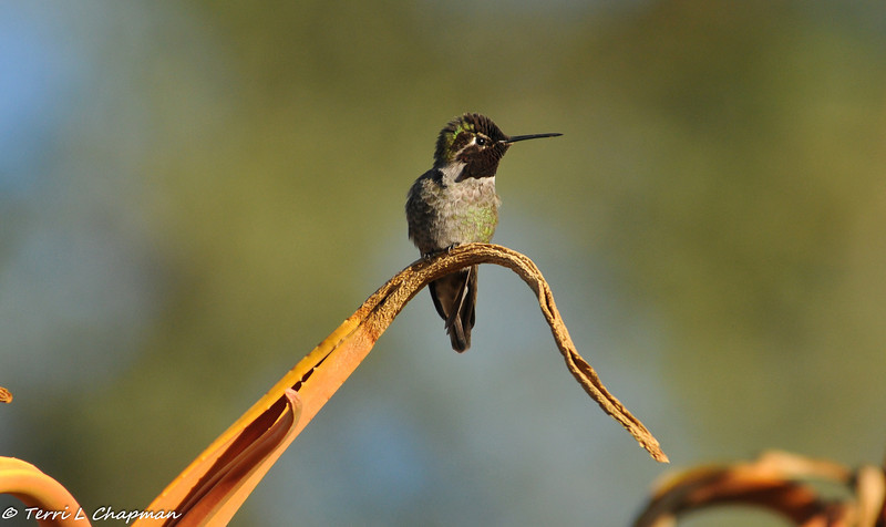 A male Anna's Hummingbird perched on an aloe plant