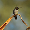 A male Anna's Hummingbird perched on an aloe plant