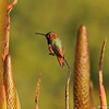 A male Allen's Hummingbird perched amongst Aloe plants