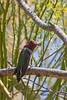 Hummingbird 1023 - in a Palo Verde tree in Tucson, Arizona on April 1. 2015