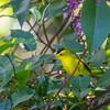Wilson's warbler