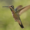 Juvenile Magnificent Hummingbird at Beatty's Guest Ranch,Miller Canyon,AZ.