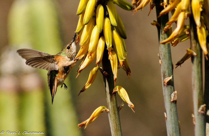 Allen's Hummingbird with Red Hot Poker plant