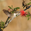 A juvenile male Black-chinned Hummingbird drinking nectar from a Baja Fairy Duster bloom