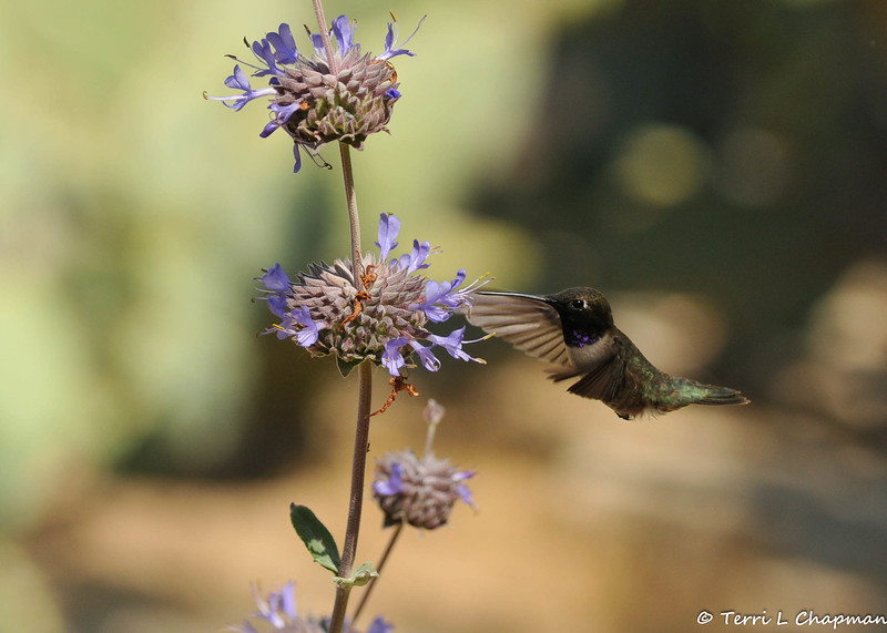 A male Black-chinned Hummingbird in flight with Sandhill Sage