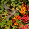 A female Costa's Hummingbird drinking nectar from a Lantana bush.