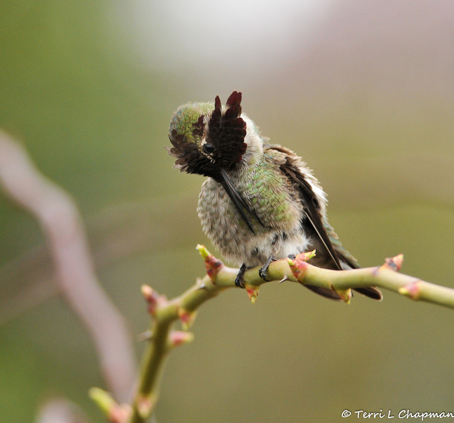 A male Anna's Hummingbird preening his feathers