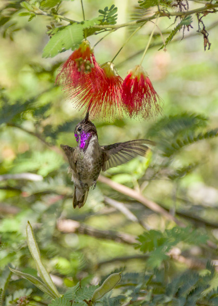 Costa's hummingbird and Fairyduster