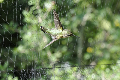 Hummer caught in a mist net prior to banding